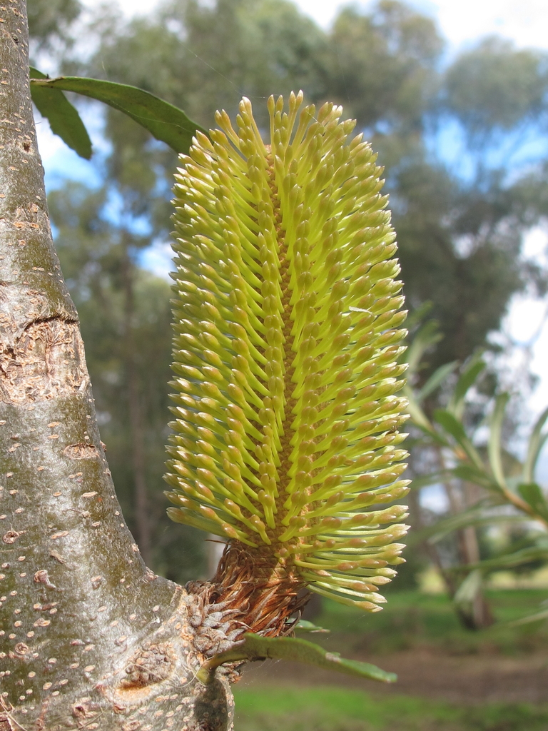 Silver Banksia - Photo (c) Nathan Johnson, some rights reserved (CC BY-NC-SA)