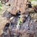 Stilbotulasnella conidiophora - Photo (c) Igor Khomenko, μερικά δικαιώματα διατηρούνται (CC BY-NC)