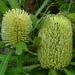 Banksia aemula - Photo (c) James Gaither, algunos derechos reservados (CC BY-NC-ND)