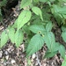 Rubus allegheniensis gravesii - Photo (c) Tomás Curtis, some rights reserved (CC BY-NC)