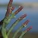 Salicornia pacifica - Photo (c) Jerry Kirkhart, algunos derechos reservados (CC BY)
