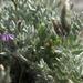 Oxytropis parryi - Photo (c) Jim Morefield, alguns direitos reservados (CC BY)