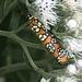 Polilla Pintada - Photo (c) Susan J. Hewitt, algunos derechos reservados (CC BY-NC)