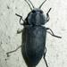 Melanophila unicolor - Photo (c) Botswanabugs,  זכויות יוצרים חלקיות (CC BY-NC)
