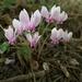 Cyclamen hederifolium - Photo (c) J.P, algunos derechos reservados (CC BY-NC)