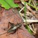 Nemobiinae - Photo (c) Rob Curtis, alguns direitos reservados (CC BY-NC-SA)