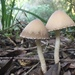 Tall Psathyrella - Photo (c) Warren Cardimona, some rights reserved (CC BY-NC)
