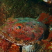 Great Sculpin - Photo (c) canaryrockfish, some rights reserved (CC BY-NC)