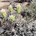 Castilleja thompsonii - Photo (c) J Brew, algunos derechos reservados (CC BY-SA), uploaded by John Brew