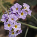 Fragrant Heliotrope - Photo (c) Ruth Ripley, some rights reserved (CC BY-NC)
