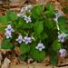 Viola rostrata - Photo (c) Rob Curtis, alguns direitos reservados (CC BY-NC-SA)
