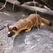 Long-tailed Weasel - Photo (c) davidcooksy, some rights reserved (CC BY-NC)