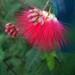 Calliandra californica - Photo (c) cobalt, osa oikeuksista pidätetään (CC BY-NC)