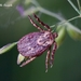 Ornate Sheep Tick - Photo (c) Marcello Consolo, some rights reserved (CC BY-NC-SA)