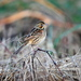 Chestnut-eared Bunting - Photo (c) ken, some rights reserved (CC BY-NC-ND)