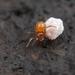 Thymoites maderae - Photo (c) Marshal Hedin, μερικά δικαιώματα διατηρούνται (CC BY-NC-SA)