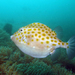 Eastern Smooth Boxfish - Photo (c) Gina, some rights reserved (CC BY-NC)