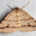 Dodonaea Moth - Photo (c) Victor W Fazio III, some rights reserved (CC BY-NC)