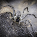 Funnel Web Wolf Spiders - Photo (c) Felix Morales, some rights reserved (CC BY-NC)