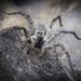 Arañas Lobo de Tela de Embudo - Photo (c) Felix Morales, algunos derechos reservados (CC BY-NC)