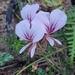 Pelargonium myrrhifolium coriandrifolium - Photo (c) Jarien,  זכויות יוצרים חלקיות (CC BY-NC)