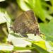 Denivia curitabaensis - Photo (c) Cauã Menezes, algunos derechos reservados (CC BY-NC)