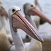 Pelicans - Photo (c) Cyron Ray Macey, some rights reserved (CC BY-NC)