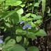 Scutellaria pseudocoerulea - Photo (c) Ron Savage, alguns direitos reservados (CC BY-NC-SA)