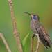 Colibri delphinae - Photo (c) Christoph Moning, μερικά δικαιώματα διατηρούνται (CC BY)