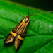 Nemophora degeerella - Photo (c) jomike,  זכויות יוצרים חלקיות (CC BY-NC-ND)