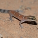 Djebel Bani Lizard-toed Gecko - Photo (c) Alexandre Roux, some rights reserved (CC BY-NC)