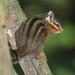 Neotamias senex - Photo (c) Greg Schechter, algunos derechos reservados (CC BY)