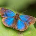 Saltarina Azul Gloriosa - Photo (c) djhiker, algunos derechos reservados (CC BY-NC)