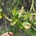 Salix lasiolepis - Photo (c) Tom Turner, μερικά δικαιώματα διατηρούνται (CC BY-NC)