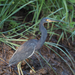 Egretta tricolor tricolor - Photo (c) Gaell Mainguy, algunos derechos reservados (CC BY-NC-ND)