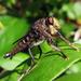 Promachus bastardii - Photo (c) Lisa Brown,  זכויות יוצרים חלקיות (CC BY-NC)