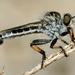 Efferia apicalis - Photo (c) Patrick Coin, algunos derechos reservados (CC BY-NC-SA)