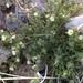 Polemonium micranthum - Photo (c) deboas, algunos derechos reservados (CC BY)