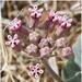 Venenillos, Plantas de Carroña Y Parientes - Photo (c) Gary Nored, algunos derechos reservados (CC BY-NC)