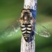 Eupeodes volucris - Photo (c) Ken-ichi Ueda,  זכויות יוצרים חלקיות (CC BY)