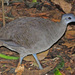 Great Tinamou - Photo (c) Jerry Oldenettel, some rights reserved (CC BY-NC-SA)
