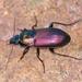 Escarabajos de Tierra - Photo (c) Denis Doucet, algunos derechos reservados (CC BY-NC)