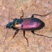 Ground Beetles - Photo (c) Denis Doucet, some rights reserved (CC BY-NC)