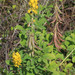 Crotalaria pallida obovata - Photo (c) Chuck Martin, algunos derechos reservados (CC BY-SA)