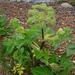 Angelica archangelica litoralis - Photo (c) Kari Pihlaviita,  זכויות יוצרים חלקיות (CC BY-NC)