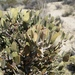Jojoba - Photo (c) J Brew, some rights reserved (CC BY-SA), uploaded by John Brew