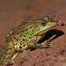 Water Frogs - Photo (c) עומר וינר, some rights reserved (CC BY-NC)