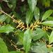Aporusa dioica - Photo (c) sunnetchan, algunos derechos reservados (CC BY-NC-SA)