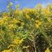Solidago altissima - Photo ללא זכויות יוצרים