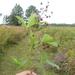 Rubus semisetosus - Photo Ningún derecho reservado